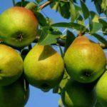 Особенности выращивания груш